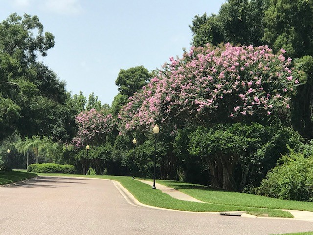 Crape Myrtle trees in full bloom along River Hills Parkway.   Thanks to outstanding efforts by Greenview Landscaping and OLM, Inc., who keep the River Hills' mature landscape looking great!